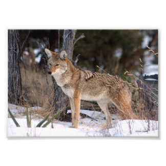 Coyote Out West Photo Print