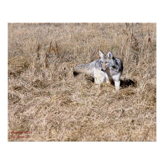 Coyote Posters