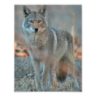 Coyote Photo Print