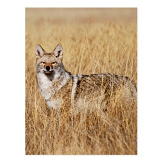 Coyote Photograph Postcard