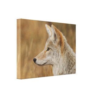 Coyote Portrait Stretched Canvas Print