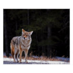 Coyote Poster or Print