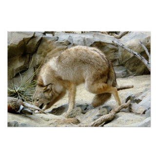 Coyote Prarie dog Poster Print