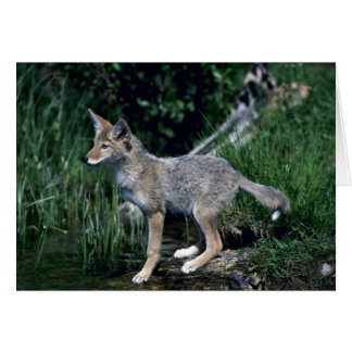 Coyote-pup beside summer stream greeting cards