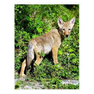 Coyote Pup - Over the Shoulder Look Postcard