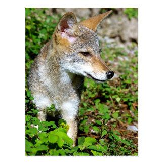 Coyote Pup Profile Postcard