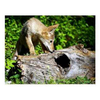 Coyote Pup - What is in that Log? Postcard