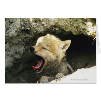 Coyote pup yawning card