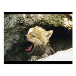 Coyote Pup Yawns Postcard