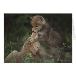 Coyote Puppies Wrestling (Canis Latrans) Card