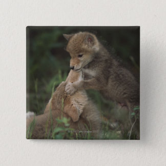 Coyote Puppies Wrestling (Canis Latrans) Pinback Button