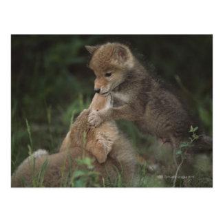 Coyote Puppies Wrestling (Canis Latrans) Postcard