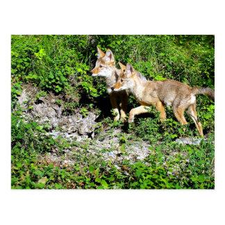Coyote Pups Postcard