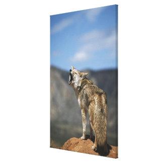 Coyote que grita del punto álgido impresión en lienzo estirada