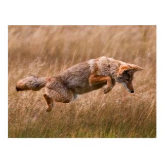 Coyote que salta - prados del Gibbon Tarjetas Postales