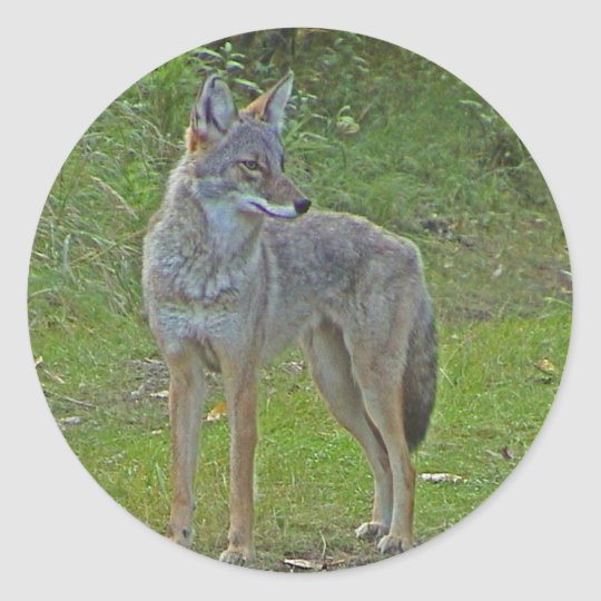 Coyote (side view) classic round sticker