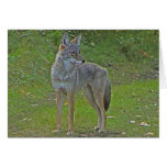 Coyote (side view) greeting card