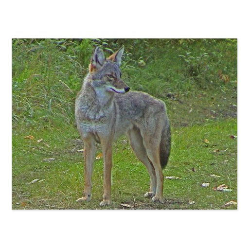Coyote (side view) postcard