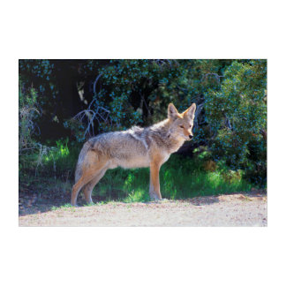 Coyote Stands along a Road Acrylic Wall Art