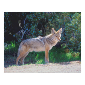 Coyote Stands along a Road Panel Wall Art