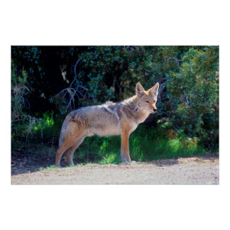 Coyote Stands along a Road Poster
