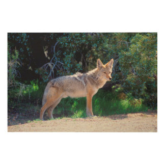 Coyote Stands along a Road Wood Print