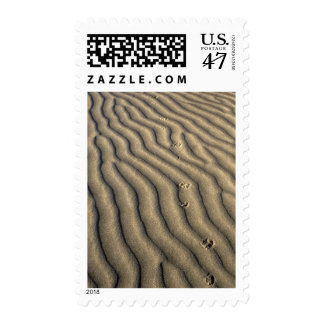 Coyote tracks in ripples of sand at Death Postage