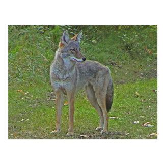 Coyote (vista lateral) tarjeta postal