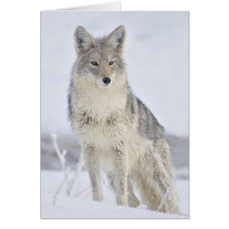 Coyote - Wildlife Photography by Steven Holt Card
