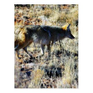 Coyotes Anilmal salvaje del Fox en campo Tarjetas Postales