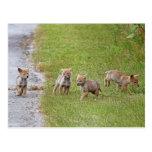 Coyotes del bebé que corren y que juegan