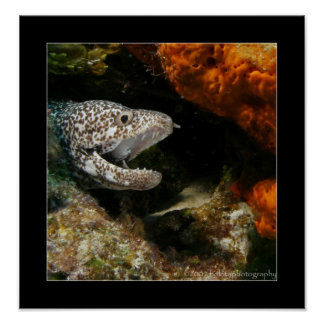 Cozumel - Brown-spotted Eel #002 Poster