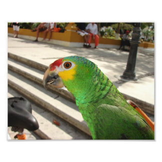 Cozumel Parrot,Photo Photo Print