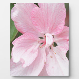 Crab Apple Blossom Close Up Plaque