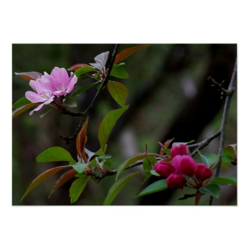 Crab Apple Blossom Posters
