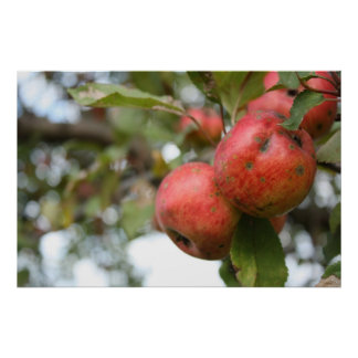 Crab Apple on Tree Posters