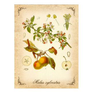 Crab apple - vintage illustration postcard