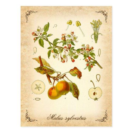 Crab apple - vintage illustration postcards