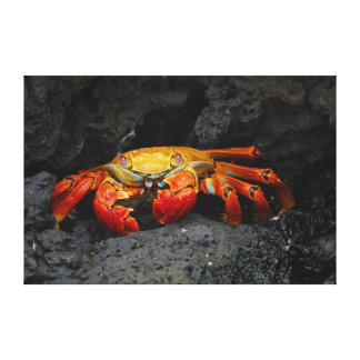 Crab Grapsus Grapsus From The Galapagos Islands Stretched Canvas Print