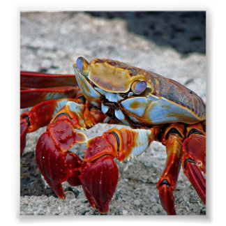 Crab photo poster