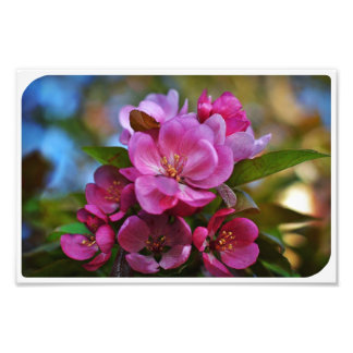 Crabapple Blossom Photo Print