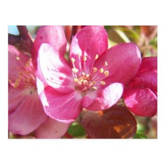 Crabapple Blossoms Postcard