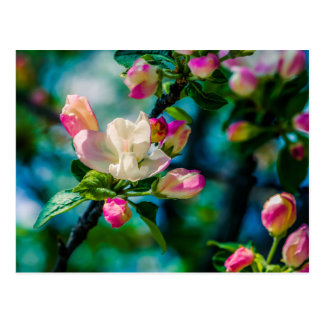 Crabapple flower and buds postcard