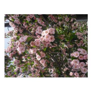 Crabapple rosado florece postal