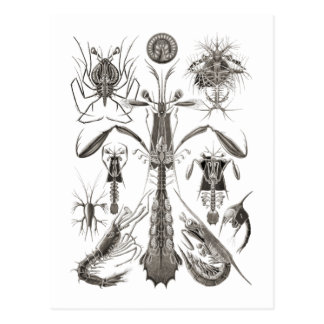 Crabs, Lobster, & Shrimps Postcard