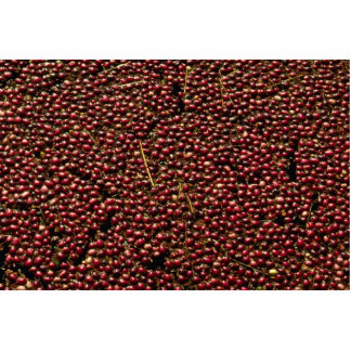 Cranberries at harvest Plymouth Massachusettes Photo Sculpture