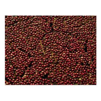 Cranberries at harvest Plymouth Massachusettes Postcard