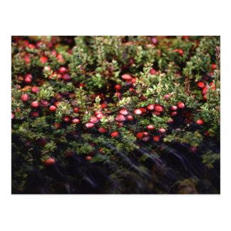 Cranberry Bog Post Cards
