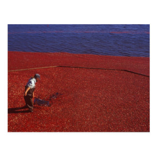 Cranberry Harvest, Middleboro, MA, USA Postcard