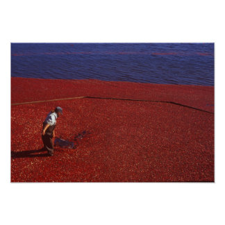 Cranberry Harvest, Middleboro, MA, USA Poster